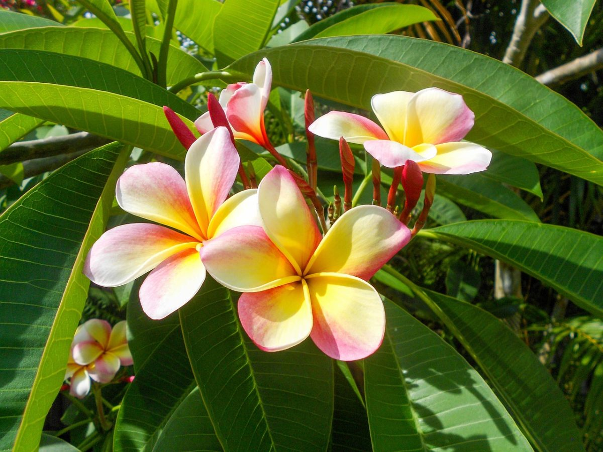 Small Flowering Trees South Florida Edition Rch Landscaping
