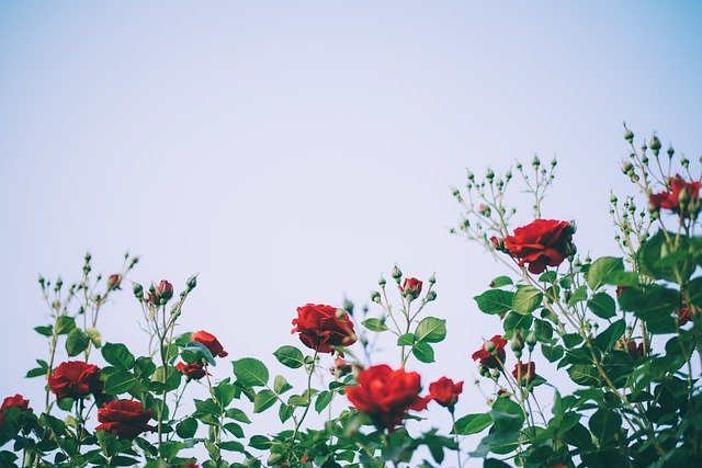 Maintaining Roses